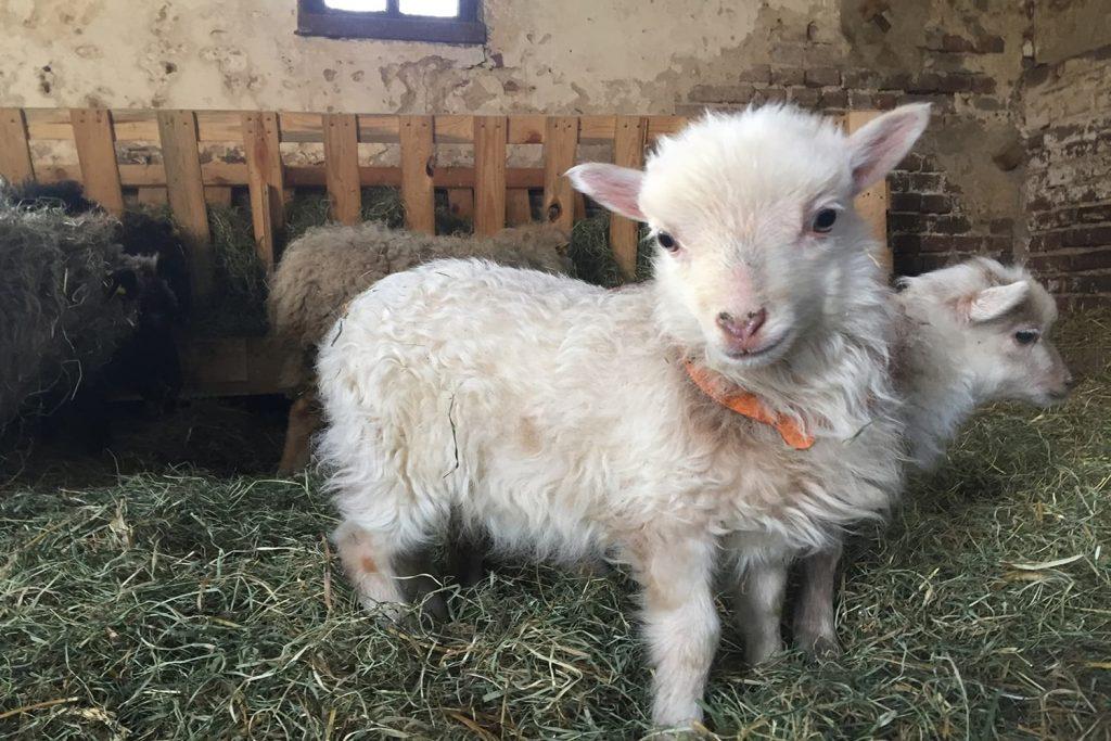 Un bébé mouton