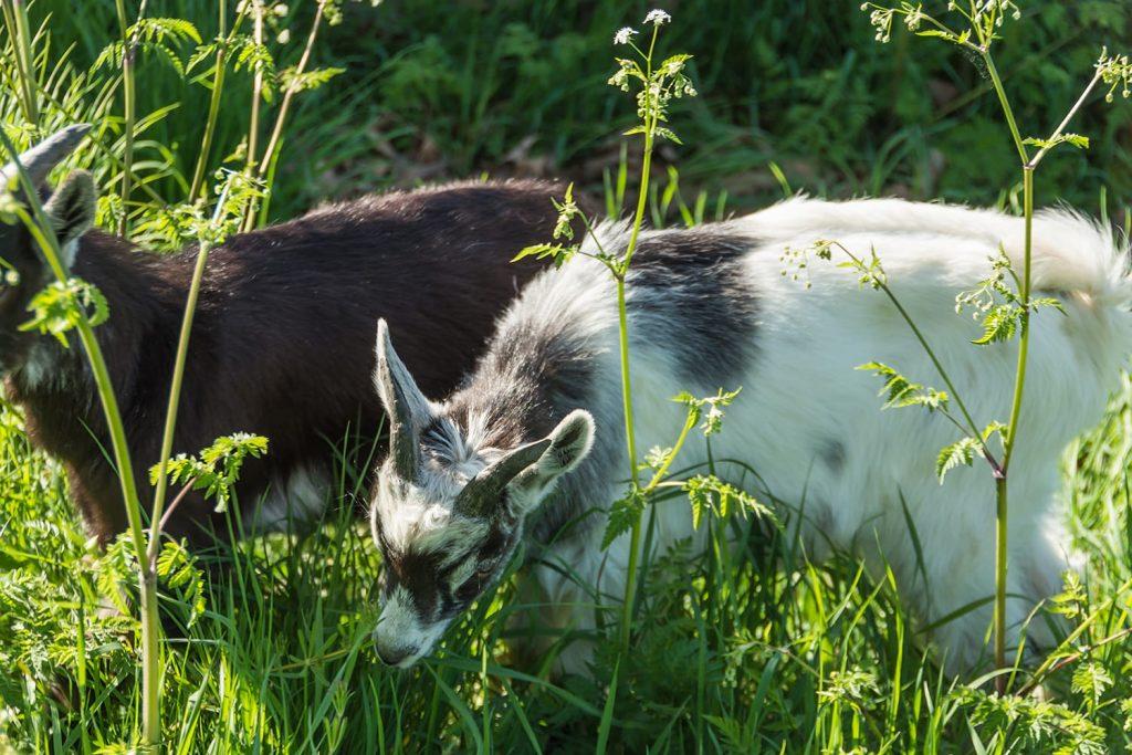 Des chèvres qui broutent de l'herbe