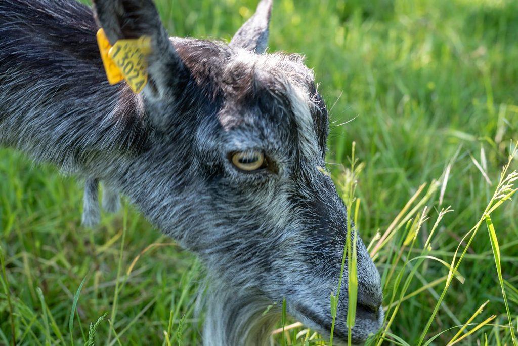Une chèvre en gros plan