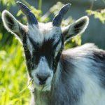 Une chèvre à cornes