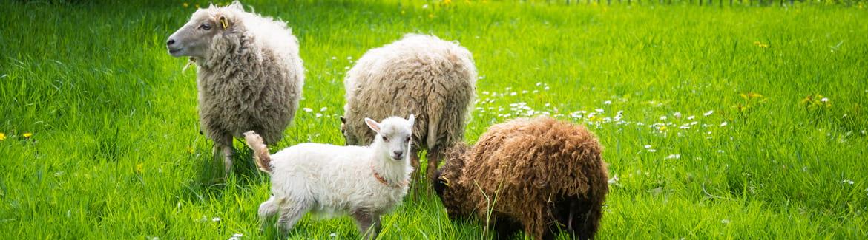 chèvres et mouton