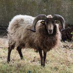 Mouton à cornes