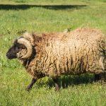 Un mouton à cornes