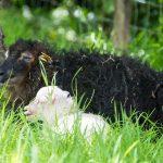 Un mouton Ouessant et un bébé